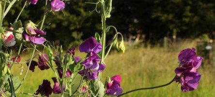 Sweet Pea Week at Easton Walled Gardens