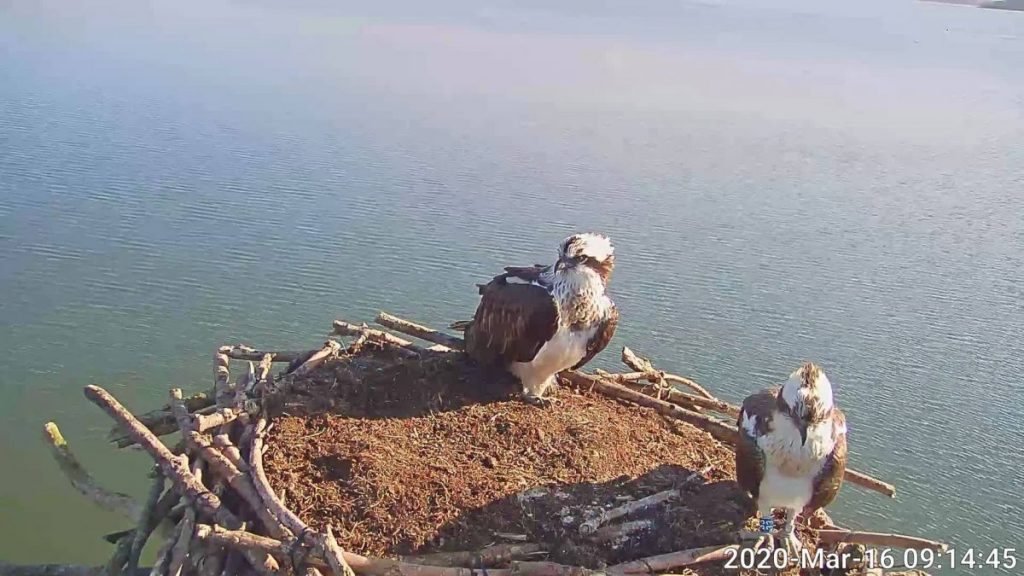 The Ospreys are back at Rutland Water!